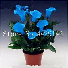prime vista Calla Lily Bonsai seltene Pflanzen