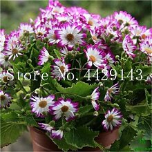 prime vista Floristen Cineraria Bonsai 100