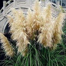 Promotion Neue Rare Lila Pampas-Gras-Samen