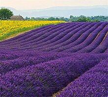 Provence Lavendel Samen lila Lavandula Vanille Samen duftend organischen Lavendel Samen Pflanze Blume Hausgarten Bonsai100pcs / bag