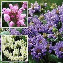 Prunella Pagode Mix Bodendecker Seeds (Prunella