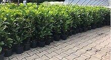 Prunus lauroc.'Novita' winterharte