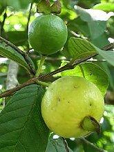 Psidium angulatum - Brasilianische Guave - seltene
