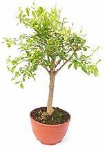Punica Granatum Bonsai 100-130 cm Granatapfelbaum