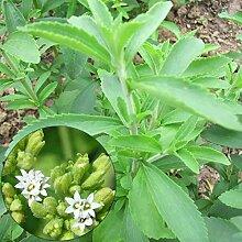puran Stevia-Samen, 50 Stück/Beutel, grüne