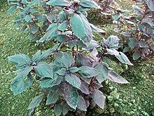 Purpur-Basilikum (Saatgut) 100 Samen