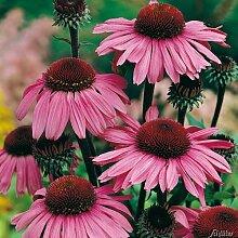 Purpur-Sonnenhut (Echinacea Purpurea) - 1 Pflanze