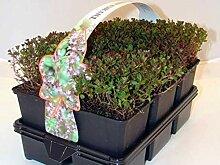 Purpurteppich Thymus 1 Stück praecox Thymian