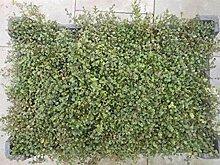 Purpurteppich Thymus 25 Stück praecox Thymian