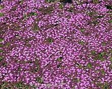 Purpurteppich Thymus 50 Stück praecox Thymian