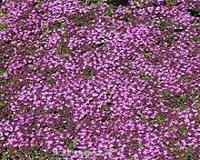Purpurteppich Thymus 6 Stück praecox Thymian