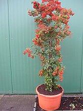 Pyracantha coccinea Red Column - Feuerdorn Red