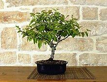 Quince bonsai tree (8)