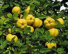 Quitte Cydonia oblonga Pflanze 25-30cm Quittenbaum