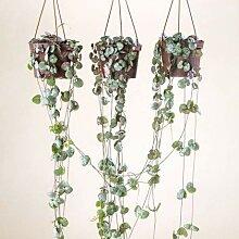 Qulista Samenhaus - 10pcs Rarität Leuchterblume