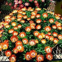 Qulista Samenhaus - Rarität 50pcs Mittagsblume