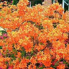 Qulista Samenhaus - Rarität Garten-Azalee Glowing
