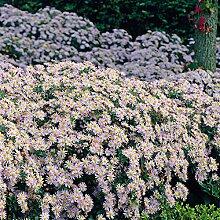 Qulista Samenhaus - Rarität Rosa Herbstaster