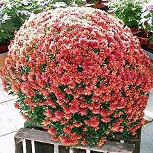 Qulista Samenhaus - Selten Herbst-Chrysantheme,