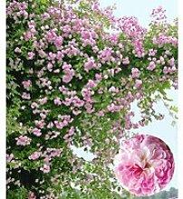 Rambler-Rose 'Paul's Himalayan Musk