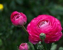 Ranunkel RanunkelZwiebeln Hohe Keimrate Pflanze im