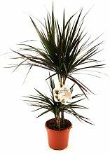 RAPIDO Ananas-Baum, Dracena marginata, 1 Pflanze, 15 - 17 cm Topf, ca. 50cm hoch