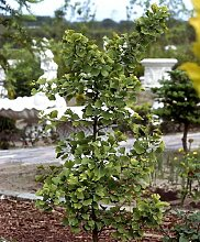 RAPIDO Ginkgo-Strauch. 1 Pflanze
