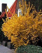 RAPIDO Goldglöckchen (Forsythia) Strauch gelb blühend. 1 Pflanze 2 Liter Topf