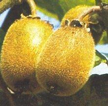 RAPIDO Kiwi 'Hayward' weibl.. Strauch. 1 Pflanze