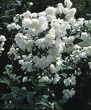 RAPIDO Philadelphus Virginal. Falscher Jasmin. 1 Pflanze. 3Liter