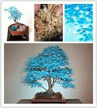 Rare Blau Maple Samen Maple Samen