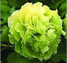 RARE CHINAS Strauchpäonie SEEDS Strauch-Pfingstrose-Blumen-Gartendekoration Pflanze eine Vielzahl von Farben 20pcs F01 frei grün