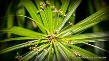 Rare Cyperus Papyrus @ j @ Papier Reed Zypergras