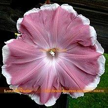 Rare Scarlet Morning Glory Blumen-Samen, 20 Samen,