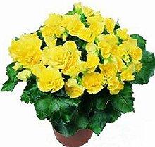 Rarität Exotische Begonia Grandis Begonien