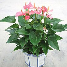 Rarität Exotische Einblatt Spathiphyllum