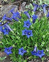 Rarität Exotische Gentiana Enzian Blumensamen,