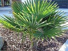 RARITÄT Frostharte Hanfpalme Trachycarpus