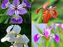 Raritäten Sumpfschwertlilien Sortiment 2 Teichpflanzen Teichpflanze Teich