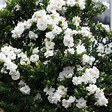 "Real White Flower Jasmin Pflanze ""50 Samen"" -"