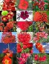 RED Blütenpflanzen Mix Exotische Garten-Baum