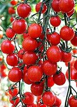 Red Cherry-Tomaten-Samen Karamel Krasnaya F1 Russisch Organically NON-GMO Grown