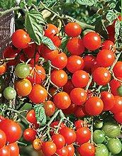 Red Cherry-Tomaten-Samen Sladkaya Grozd Russisch Erbstück NON-GMO