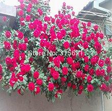 Red Kletterpflanze Polyantha Rose sät DIY Hausgarten Hof Pot Blume 100pcs Verschiffen frei