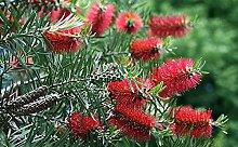 Red Putzer Baum 20 Samen - Callistemon - Tropical