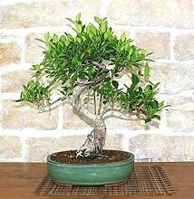 Retusa Ficus bonsai tree (56)