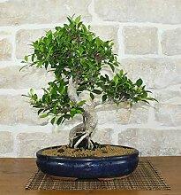 Retusa Ficus bonsai tree (60)