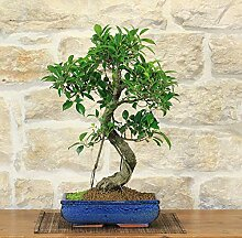 Retusa Ficus bonsai tree (67)