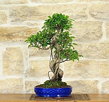 Retusa Ficus bonsai tree (73)