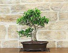 Retusa Ficus bonsai tree (75)